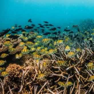 Wander Deeper Diving Travel Underwater Ningaloo Reef Photography Sergant Majors